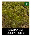 DICRANUM-SCOPARIUM-2.png