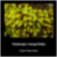 Hedwigia integrifolia.png