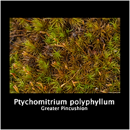 PTYCHOMITRIUM POLYPHYLLUMpng.png