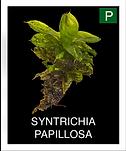 SYNTRICHIA-PAPILLOSA.png