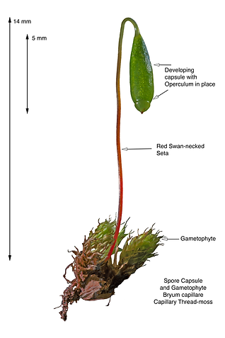 Image of a single Bryum capillare Gametophyte and Sporangia