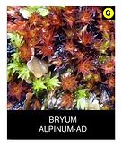 BRYUM-ALPINUM-AD.png