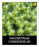 RACOMITRIUM-CANESCENS-AD.png