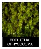 BREUTELIA-CHRYSOCOMA.png