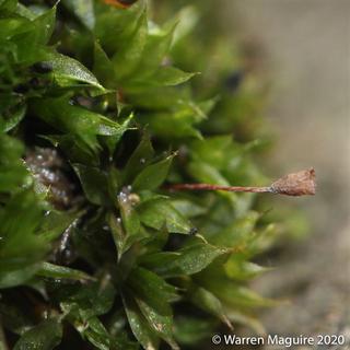 Tortula truncata