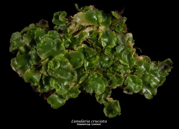 Image of Lunularia cruciata - Crescent-cup Liverwort