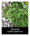 NECKERA-COMPLANATA-AD.png