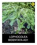 LOPHOCOLEA-BIDENTATA-AD1.png