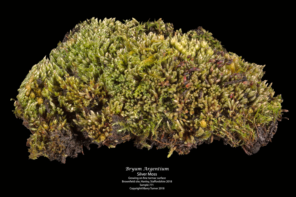 Cushion of Bryum argenteum - Silver Moss growing on fine tarmac surface, brownfield site, Hanley, Staffordshire. Sample 781