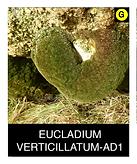EUCLADIUM-VERTICILLATUM-AD1.png