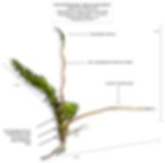 Hypnum cupressiforme shoot with sporangia