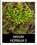 MNIUM-HORNUM-2.png