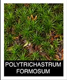 POLYTRICHASTRUM-FORMOSUM.png