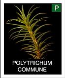POLYTRICHUM-COMMUNE.png