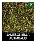JAMESONIELLA-AUTMNALIS.png