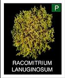 RACOMITRIUM-LANUGINOSUM.png