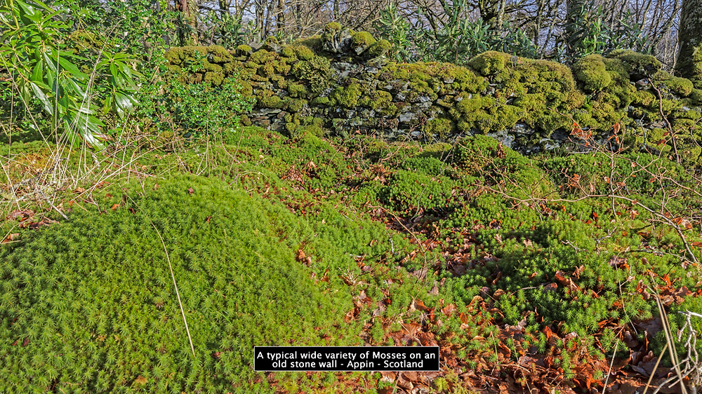 A typical wide variety of mosses growing on and around an old stone wall, Appin, Scptland
