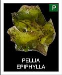 PELLIA-EPIPHYLLA.png