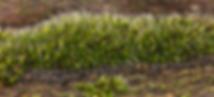 Grimmia pulvinata - Grey-cushioned Grimmia