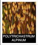 POLYTRICHASTRUM-ALPINUM.png