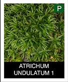 ATRICHUM-UNDULATUM-1.png