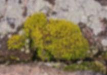 Aulacomnium androgynum - Drumsticks, Sandstone wall, Derbyshire