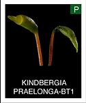 KINDBERGIA-PRAELONGA-BT1.png