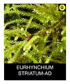 EURHYNCHIUM-STRIATUM-AD.png