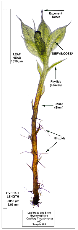 Bryum capillare - Capillary Thread-moss