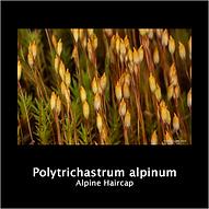 POLYTRICHASTRUM ALPINUM.png