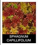 SPHAGNUM-CAPILLIFOLIUM.png