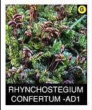 RHYNCHOSTEGIUM-CONFERTUM--AD1.png