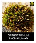 ORTHOTRICHUM-ANOMALUM-AD.png