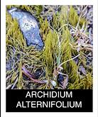 ARCHDIUM-ALTERNIFOLIUM.png