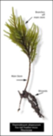 Thamnobryum alopecurum - Fox-tail Feather-moss