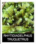 RHYTIDIADELPHUS-TRUQUETRUS.png