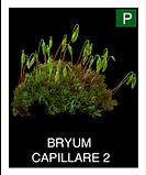 BRYUM--CAPILLARE-2.png