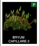 BRYUM--CAPILLARE-2.png