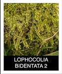 LOPHOCOLIA-BIDENTATA-2.png