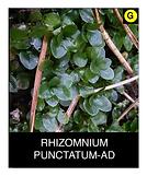 RHIZOMNIUM-PUNCTATUM-AD.png