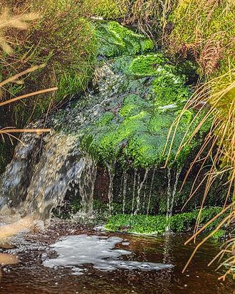 Water earwort - Scapania undulata - Sguiler Burn, Sliddery Moor, Isle of Arran