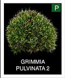 GRIMMIA-PULVINATA-2.png