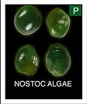 NOSTOC-ALGAE.png