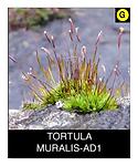TORTULA-MURALIS-AD1.png