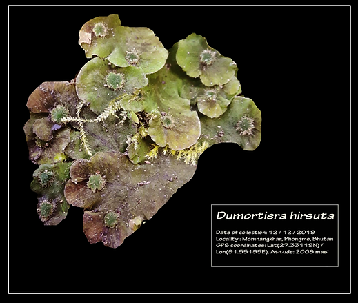 DUMORTIERA-HIRSUTA-2.png