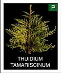THUIDIUM-TAMARISCINUM.png