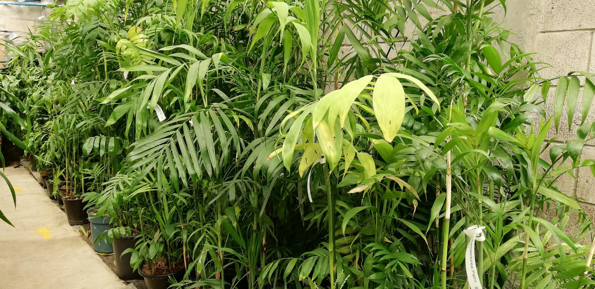 Chamaedorea Palms