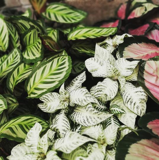 Zebra Plant and Calatheas
