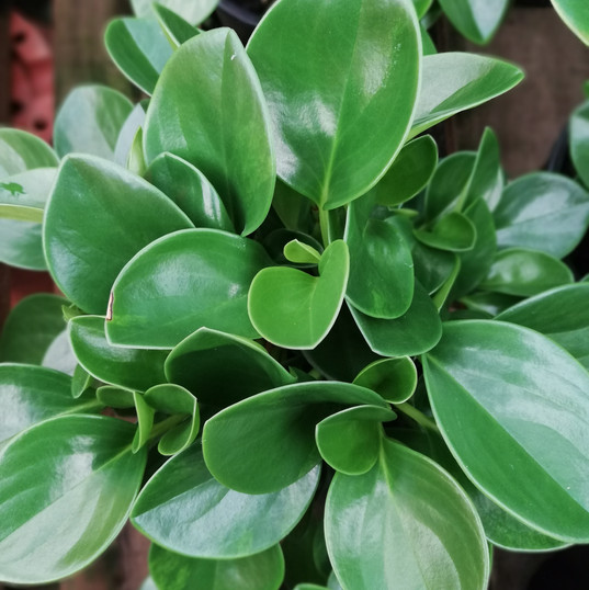 Obtusifolia