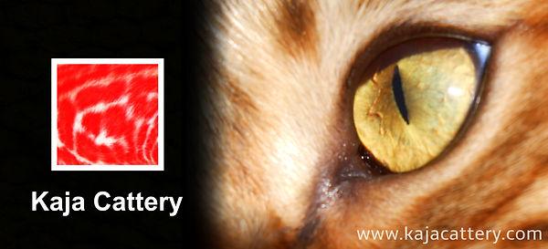 Bengaal Cattery - Kaja Cattery Banner.jp